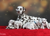 Dalmatian Dream for ORMOND vom Teutoburger Wald (called Mocha Junior) with her Christi ORMOND Z - Litter 3rd week of life