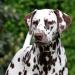 Dalmatian Dream for ORMOND vom Teutoburger Wald 18 Monate alt