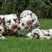 Dalmatian Dream for ORMOND vom Teutoburger Wald 24 Monate alt
