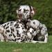 Dalmatian Dream for ORMOND vom Teutoburger Wald 3 Jahre alt
