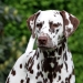 Dalmatian Dream for ORMOND vom Teutoburger Wald age 18 month