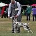 Dalmatian Dream for ORMOND vom Teutoburger Wald age 24 month